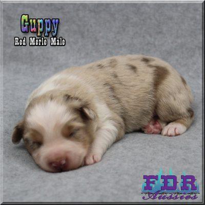 Guppy 2