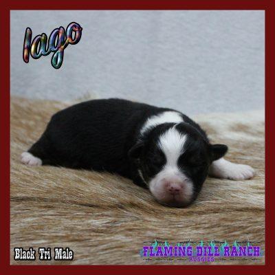 Iago 1